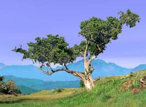 fig_tree2