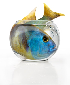 Tropical big fish in a small fish bowl